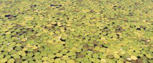 Nénuphars jaunes et verts en plongée