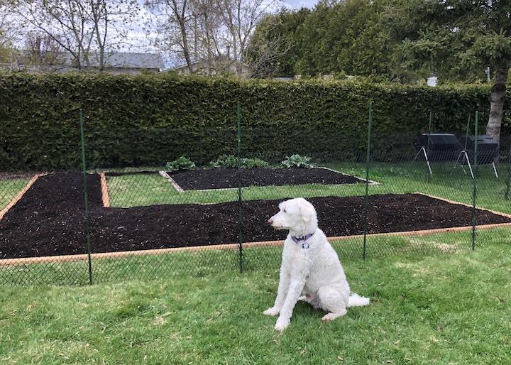 Un chien golden doodle blanc devant un potager clôturé.