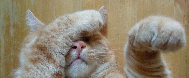 chat roux avec une patte au visage