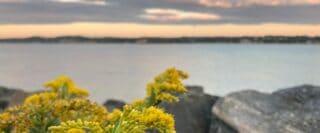 Fleurs jaunes sur la rive du Saint-Laurent à Québec.