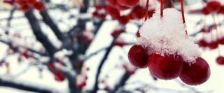 Cerises rouges avec de la neige dans un cerisier.