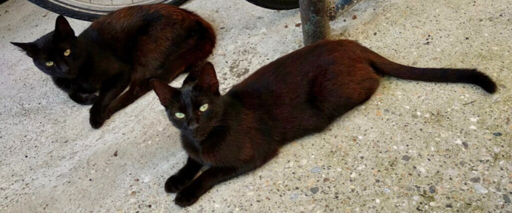 Deux chats noirs allongés sur un trottoir près de bicyclettes.