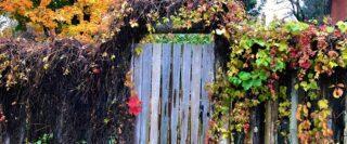 Clôture avec porte de bois, vignes à l'automne