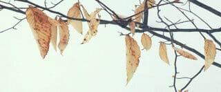 Feuilles mortes suspendues sur des branches sur fond de neige.