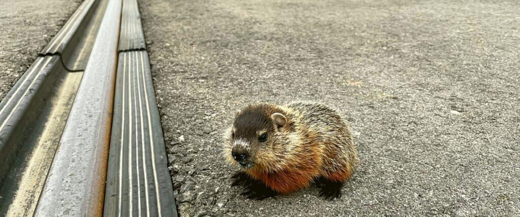Petite marmotte à un passage à niveau.